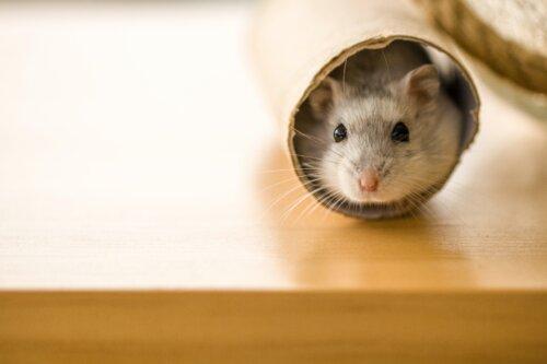 小さいネズミ